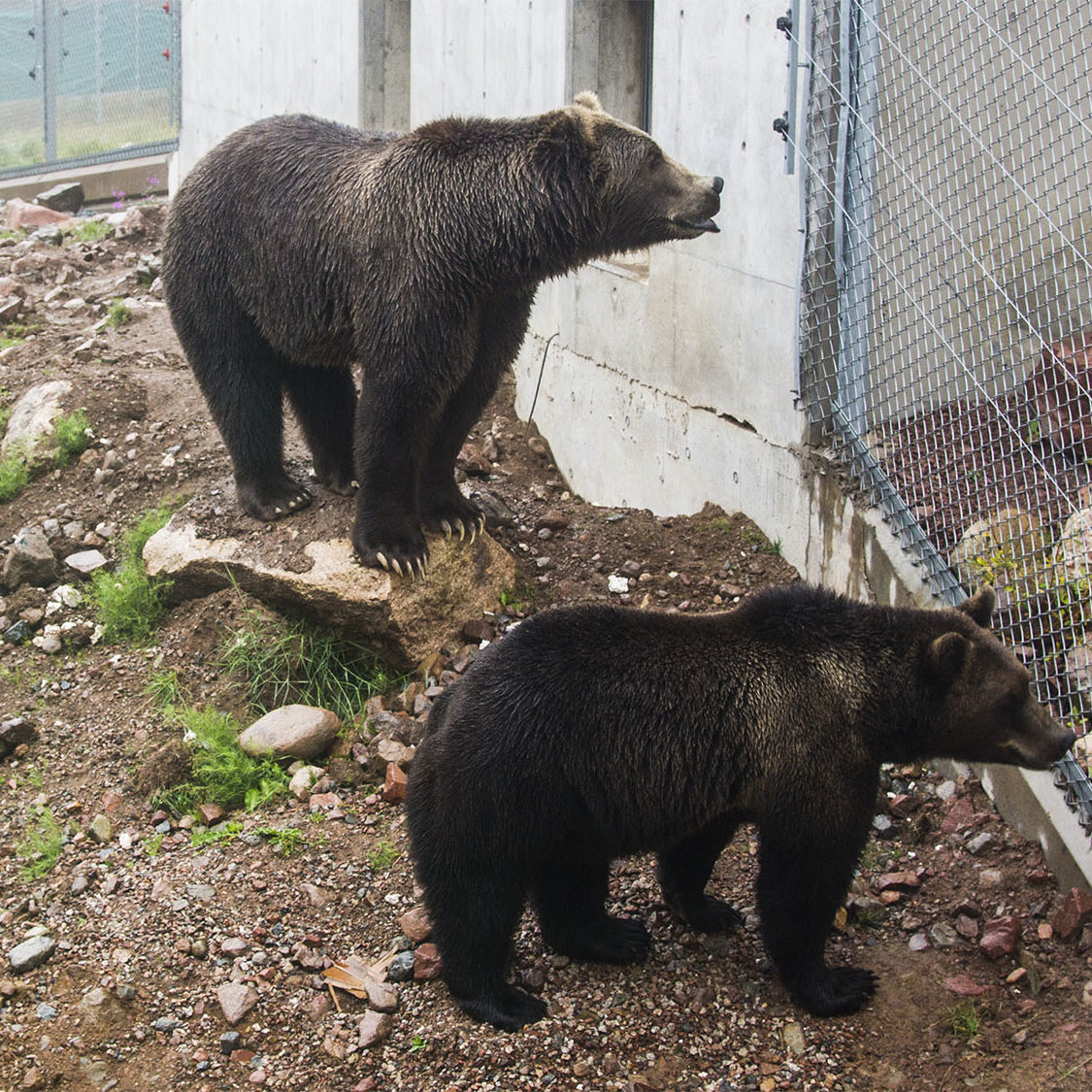 Bears - Orsa
