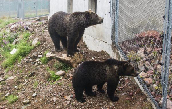 Dalarna – prowincja, gdzie niedźwiedzie mają swój park