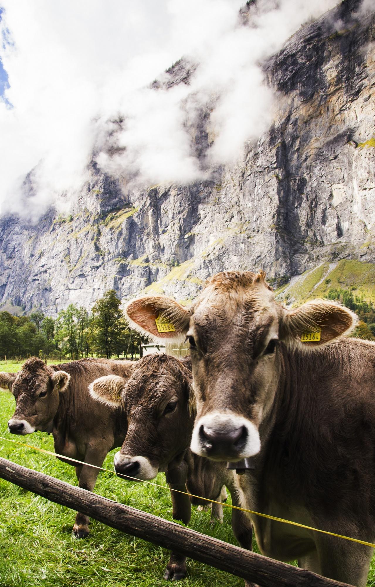 cows, lauterbrunnen