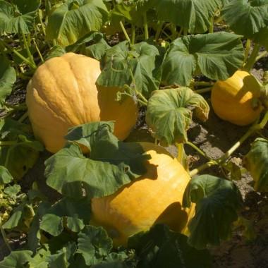 Chenonceau pumpkin