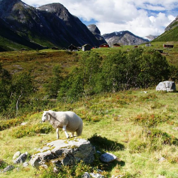 Owca na tle gór