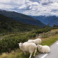 Droga Śnieżna i przydrożne owce