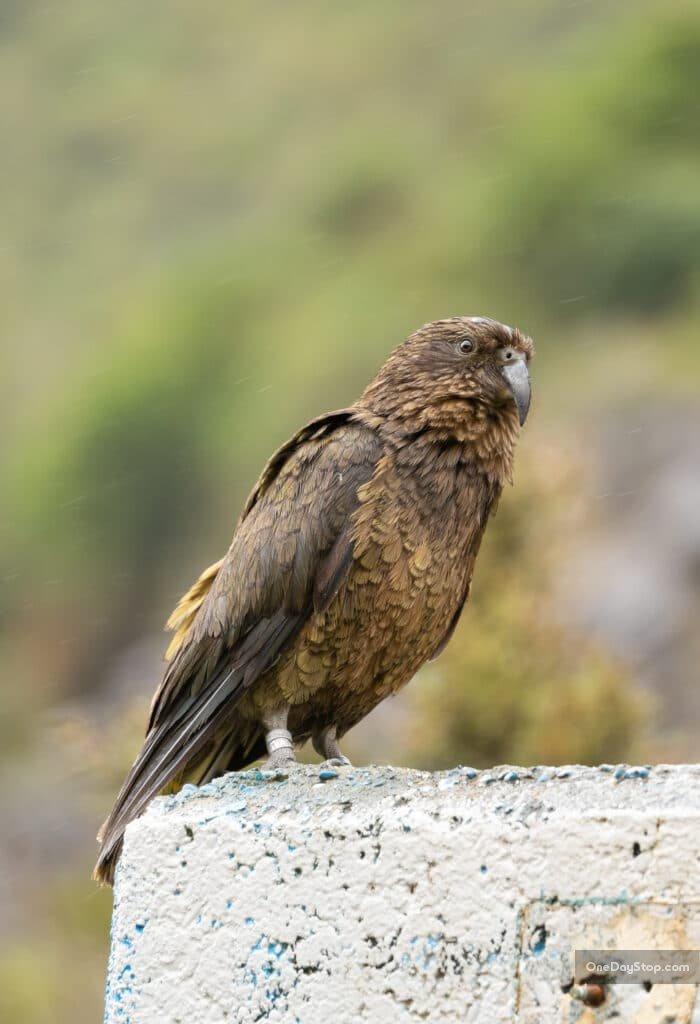 Papuga górska kea